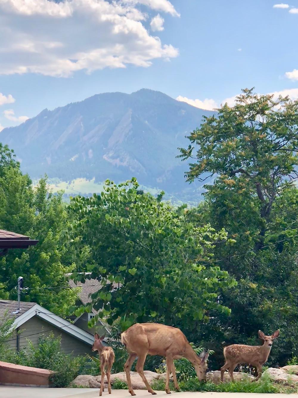 Boulder deer Flatirons foothills Rocky Mountains Rockies fawns