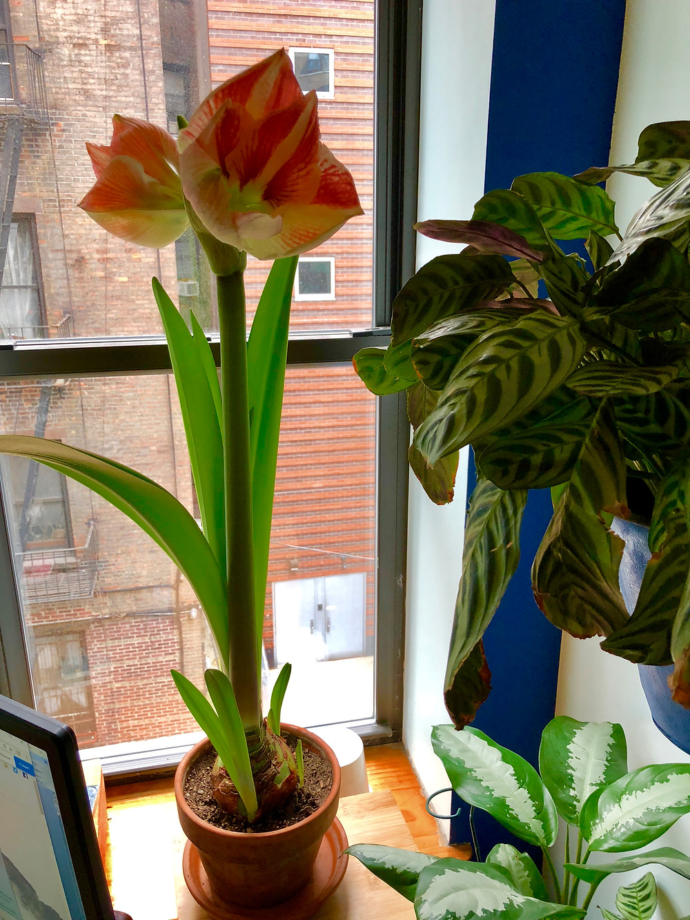 Amaryllis calathea late-bloomer in March NYC fire escape