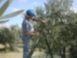 Nyons-OlivenPlukker.jpg