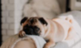 Netter Pug auf Sofa