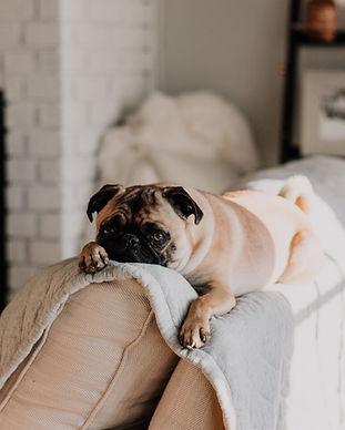 Cute Pug on Sofa