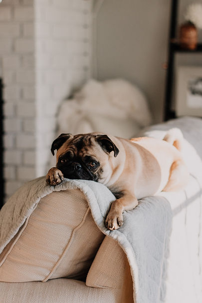 ソファの上でかわいいパグ