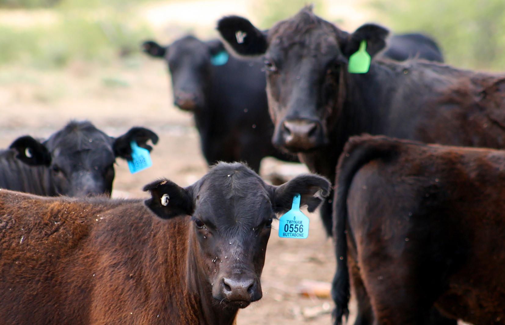 Cattle_Slider 7.jpg