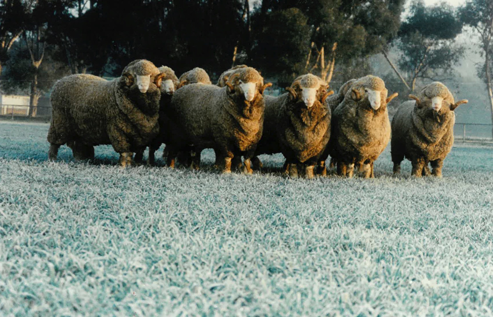 Sheep_Slider 3.jpg