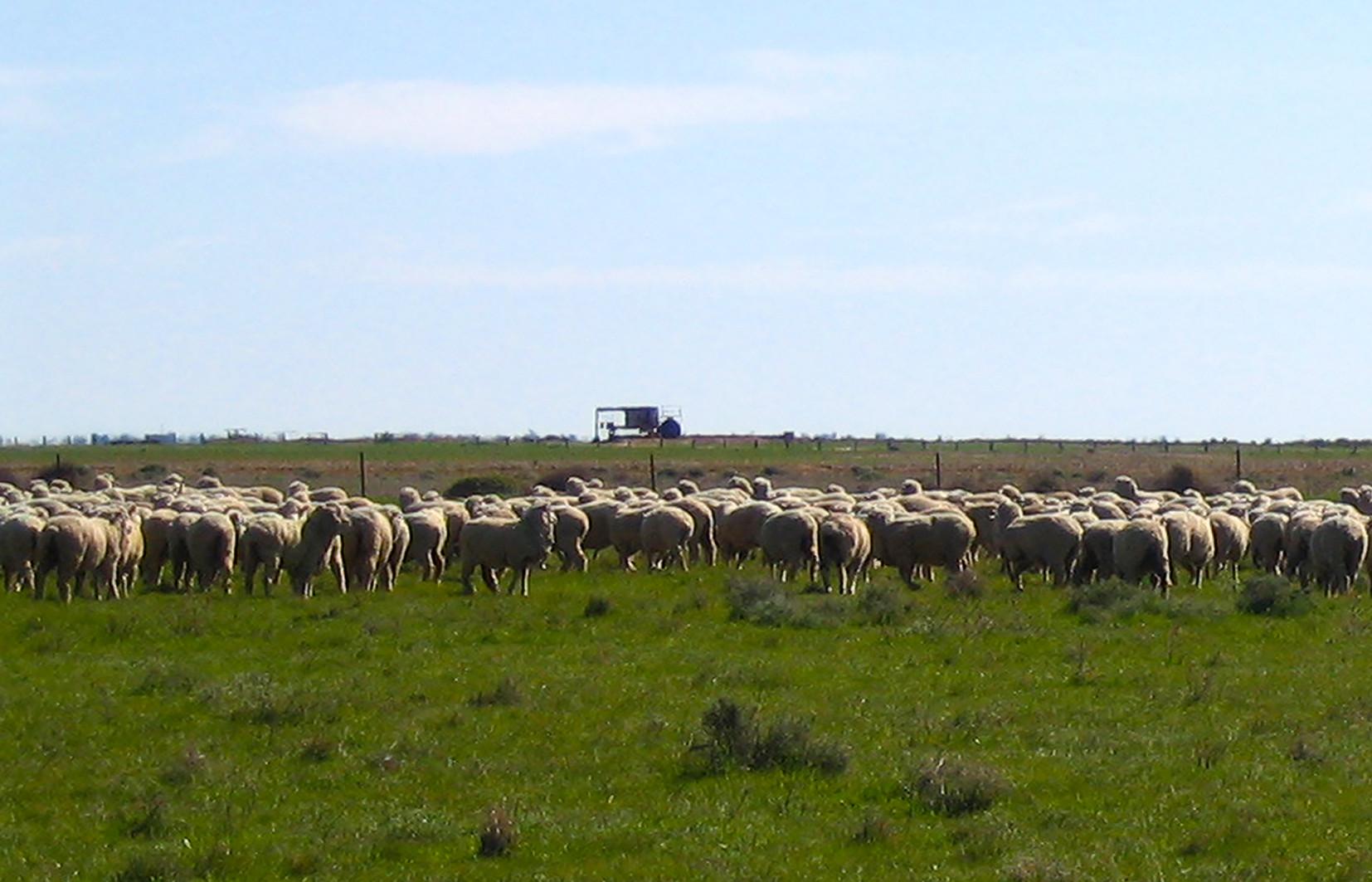 Sheep 2_Slider 6.jpg