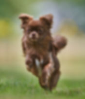 Cute Jumping Chihuahua