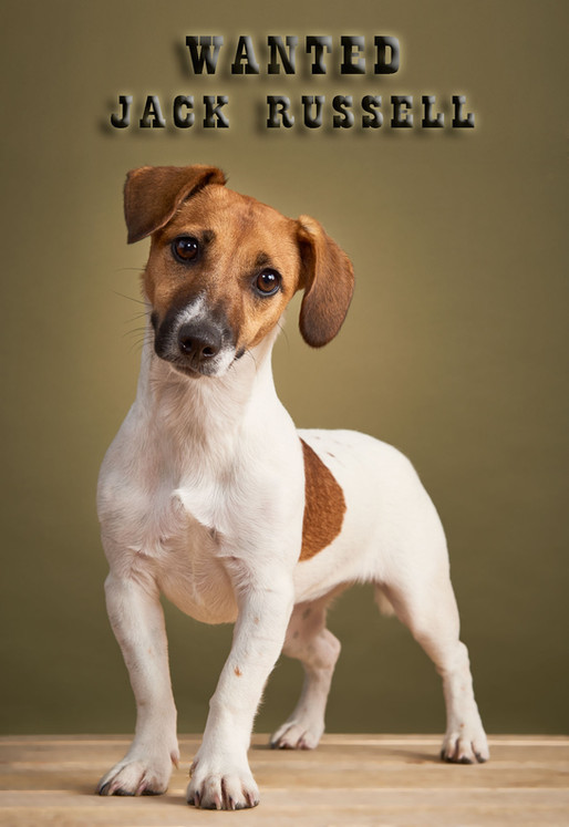 Wanted - Jack Russel