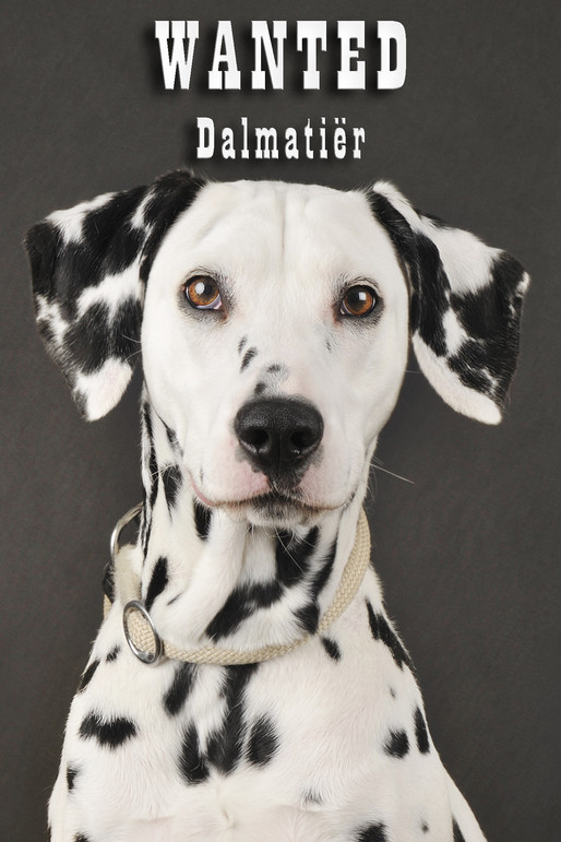 Model Call: Dalmatiërs