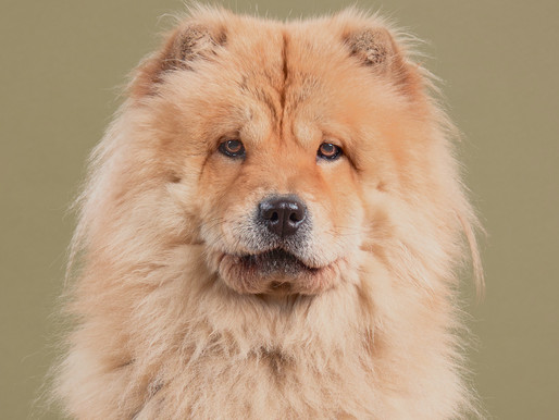 Wanted - Chow Chow