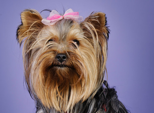 WANTED : YORKSHIRE TERRIER