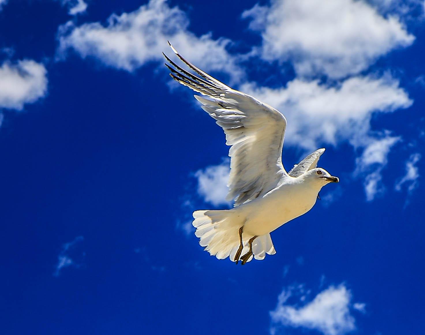 2011 Salisbury Gull 7580.jpg