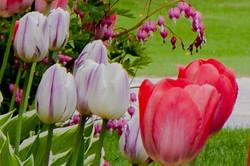 2014 Tulips 37-1.jpg