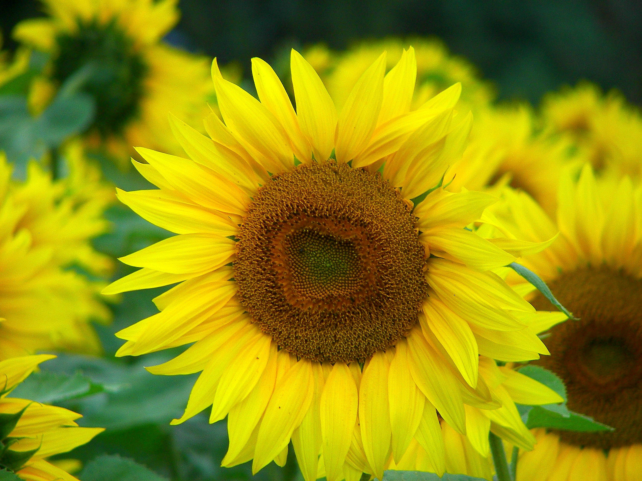 2008 Sunflower August 1.jpg