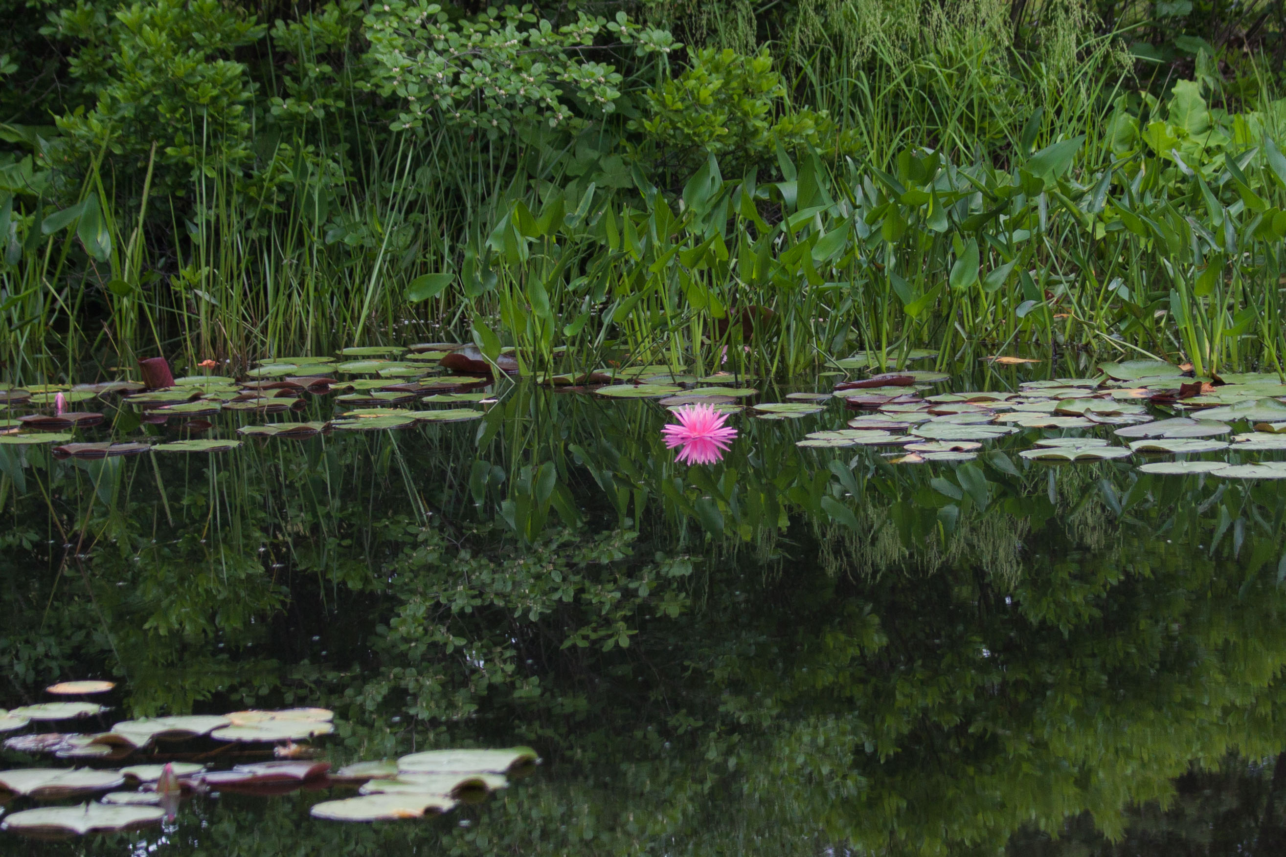 2015 Water Lily in Harpswell 93-1.jpg