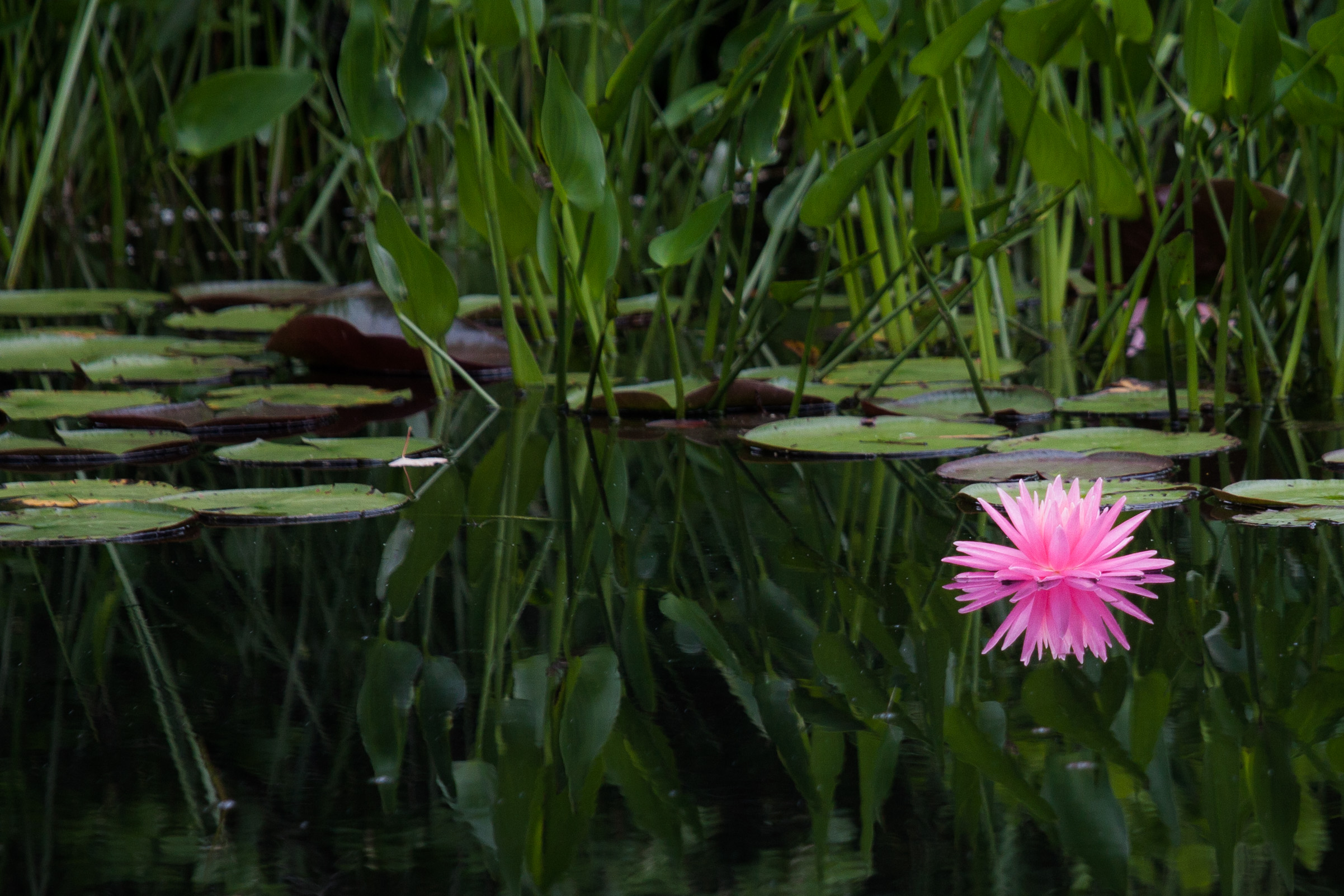 2015 Water Lily in Harpswell 88-1.jpg