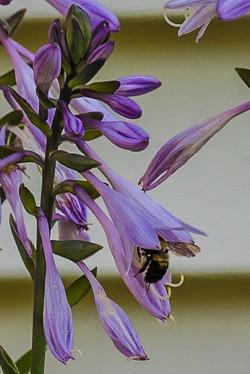 2014 Hostas & Bee 82-1.jpg