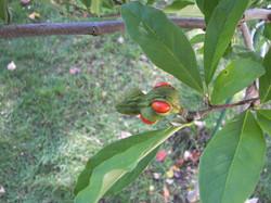 2008 Star Magnolia Seeds 2363.jpg