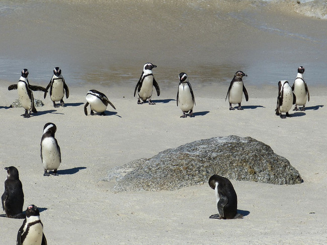 penguins south africa cape town2.jpg