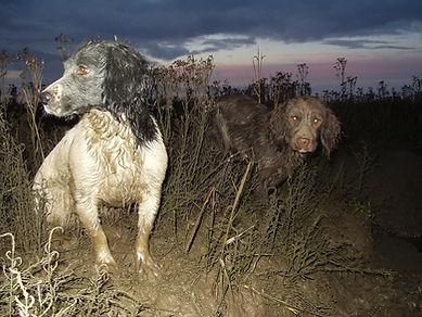Spaniels Spalding Wildfowlers