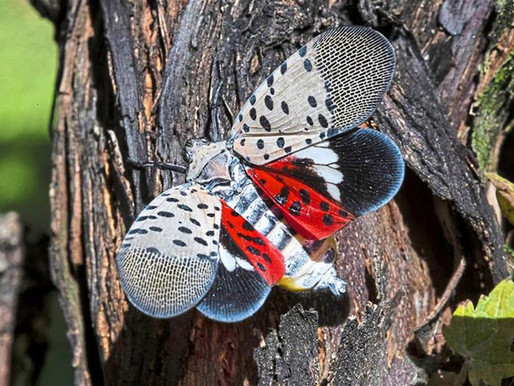 Help stop spread of Spotted Lanternfly in Upper Delaware River Valley region