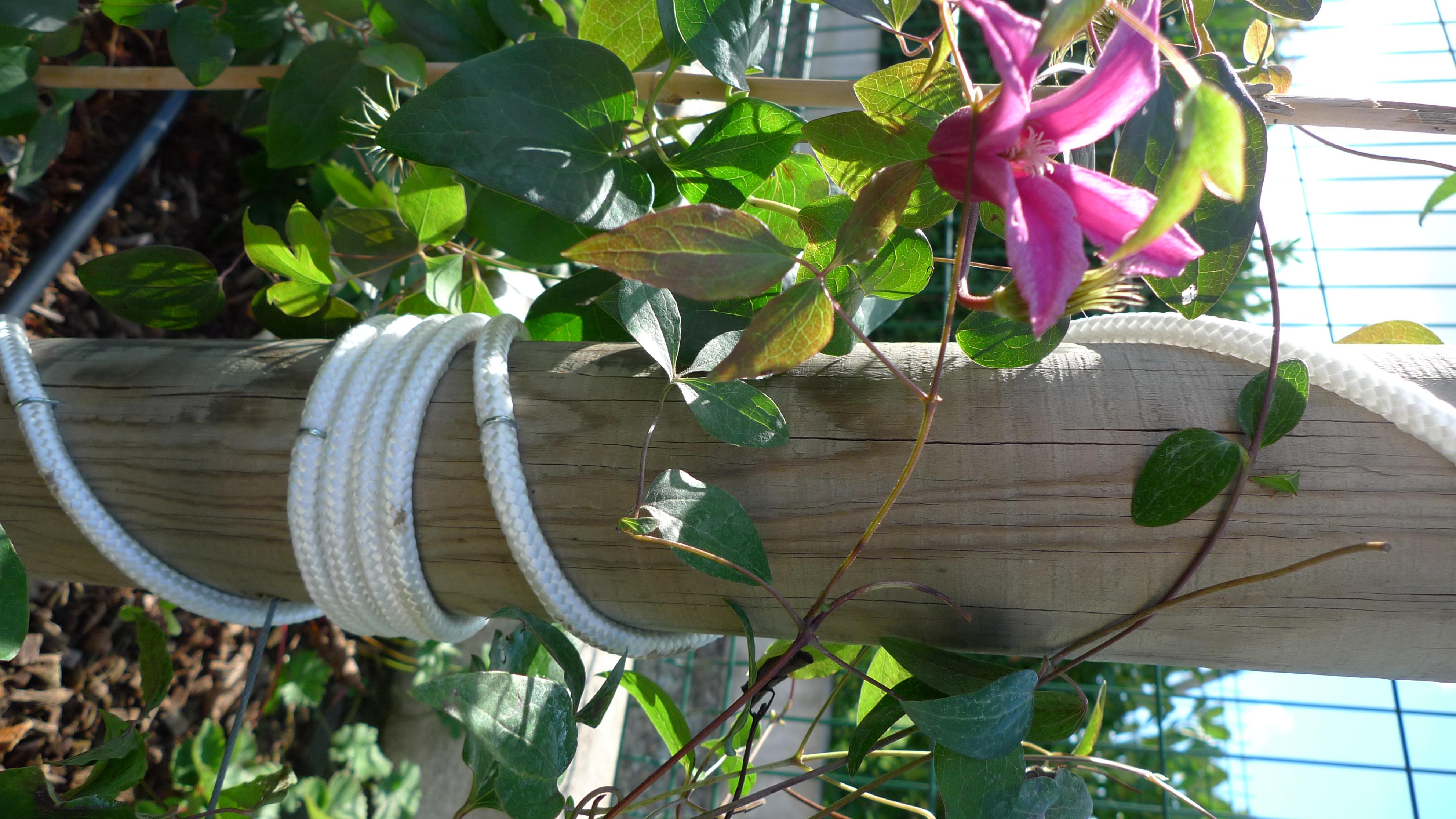 Clématite sur poteau cordé