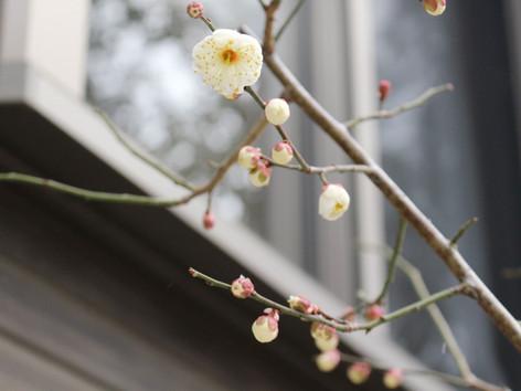 庭の梅の花