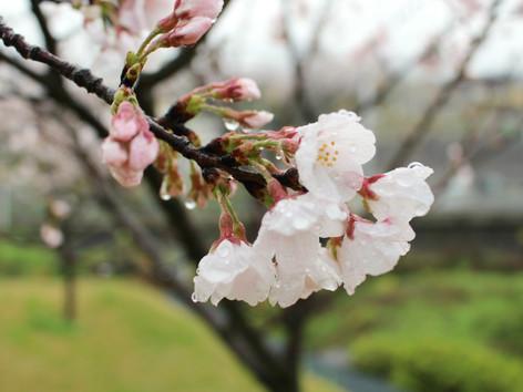 庭の桜の花