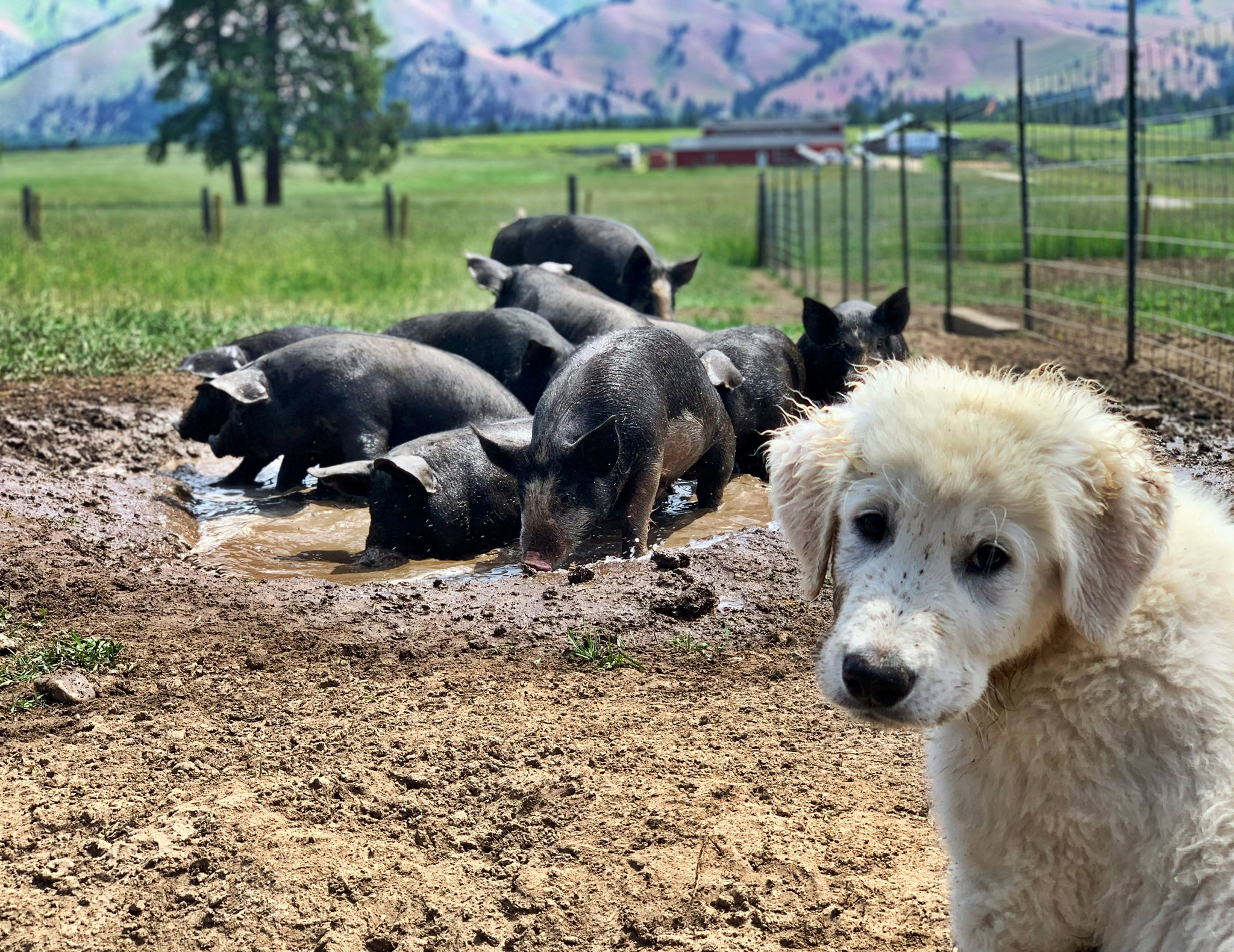 Conk the Guard dog and his pigs