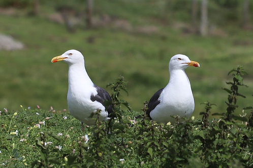 Seagulls Standing Back to Back