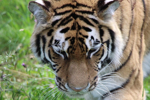 Tiger Looking Down