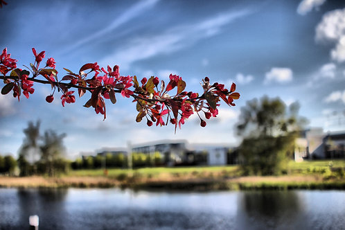Red Flowers at Edinburgh Park