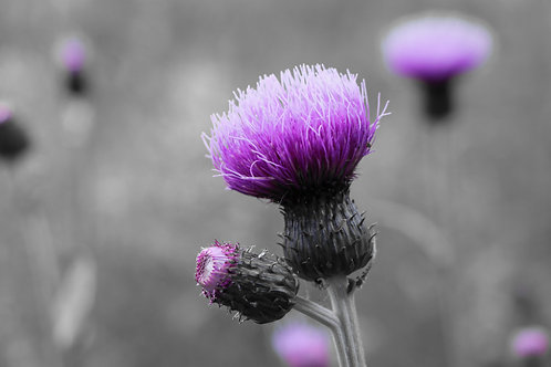 Mono & Purple Scottish Thistle