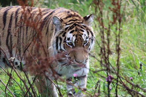 Tiger Walking Through Bushes