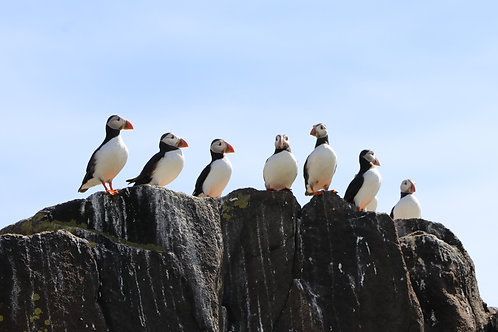 Puffins in a Row