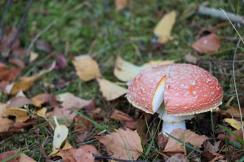 Carrbridge Mushroom