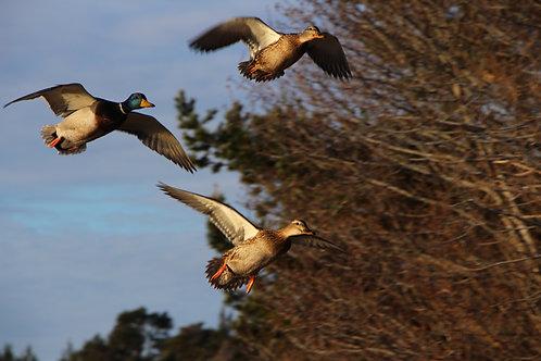 Ducks in Flight, Aviemore