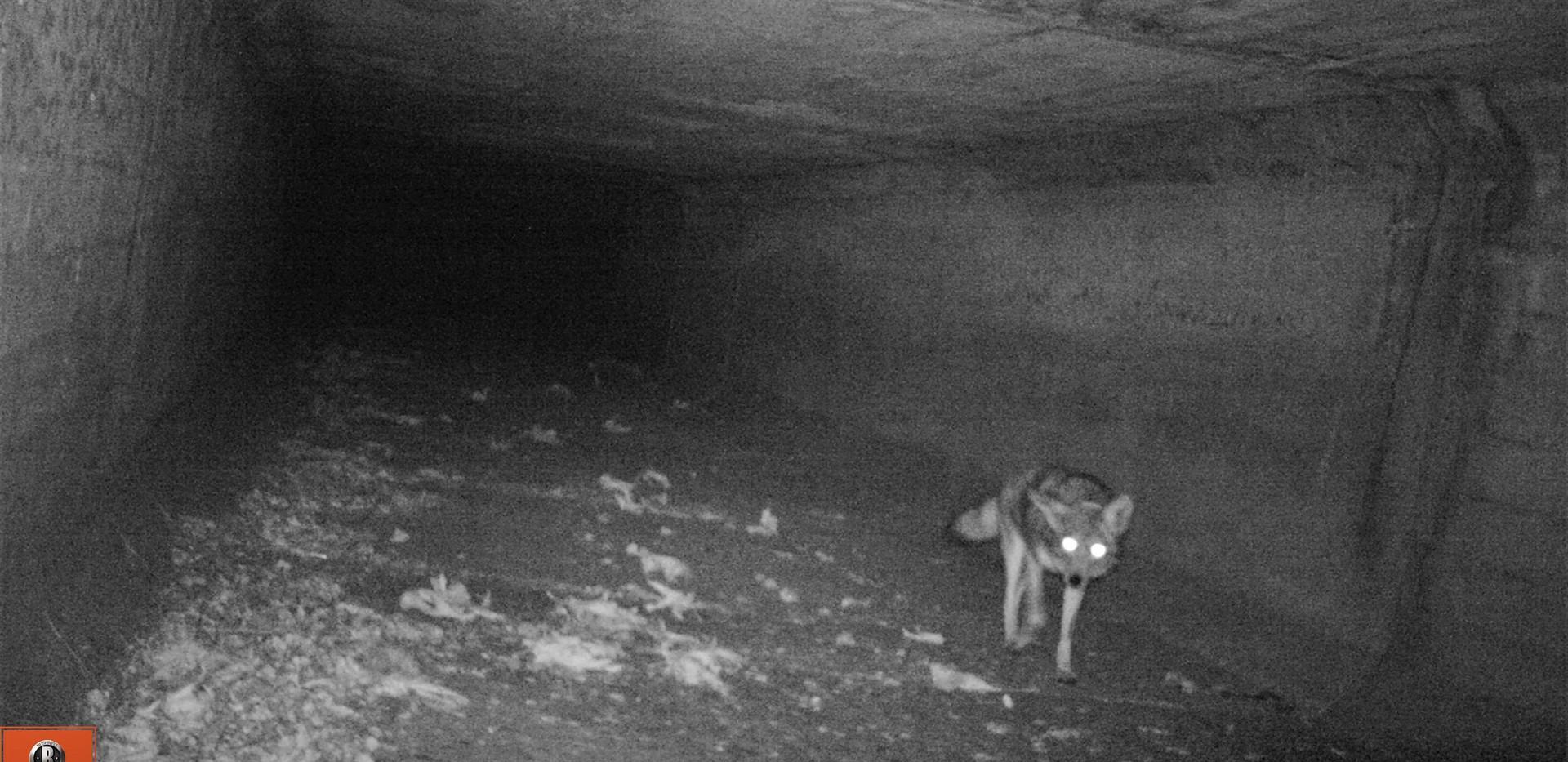 Coyote .jpg