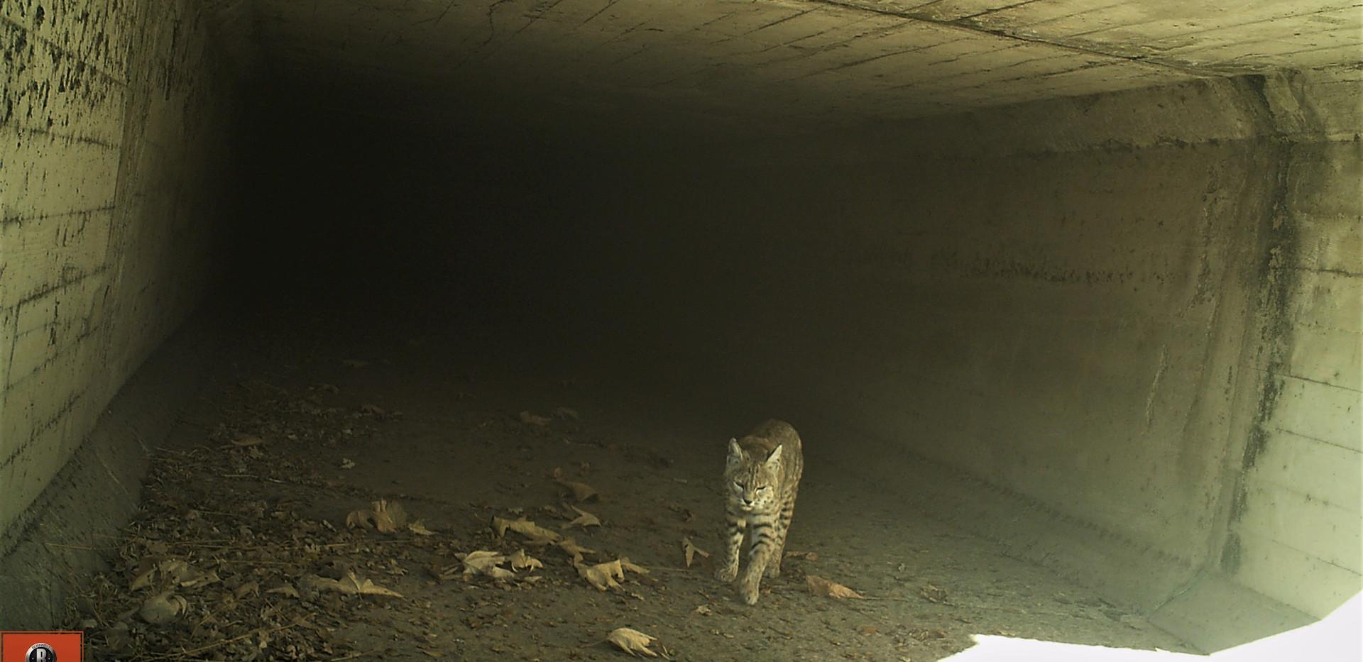 Bobcat .jpg