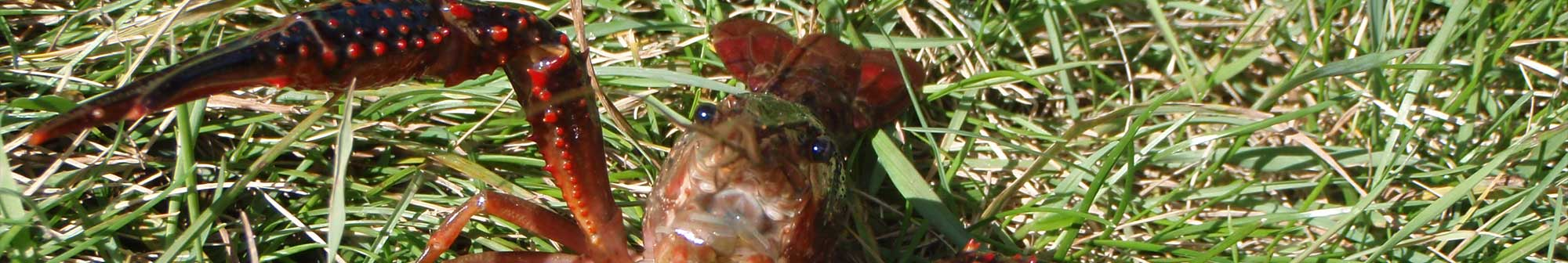 redswampcrayfish