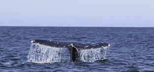 whale_fluke_large.jpg