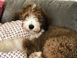 Red sable F1 standard bernedoodle