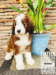 Red and White Sable F1bb Standard Bernedoodle