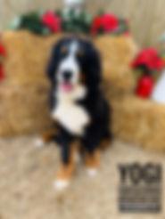 Bernese mountain dog Premier Doodles