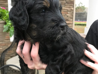 Elsa x Murphy's Puppies Doing Great