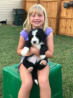 Brylee with black and white f1 standard benedoodle