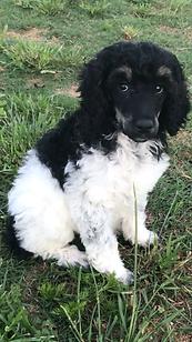 Tricolor standard poodle