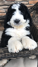 Black and white F1 standard bernedoodle Premier Doodles