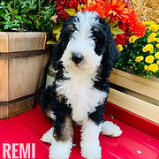 Traditonal Tricolor F1b standard bernedoodle