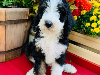 New F1b Standard Bernedoodle Project Started