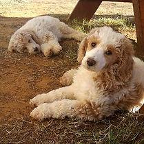 Premier Doodles standard poodles